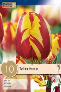 Bilde av Tulipan 'Helmar', Triumphtulipan - 10 stk