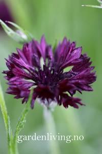 Bilde av Kornblomst 'Black Ball' - Centaurea cyanus