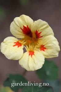 Bilde av Blomkarse 'Prince Charming' - Tropaeolum majus