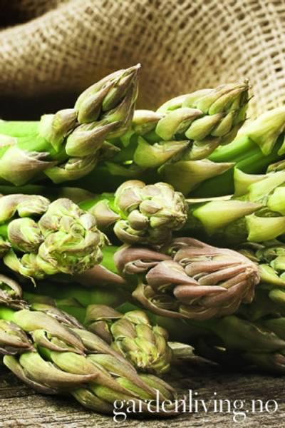 Asparges 'Guelph Millenium' - Asparagus officinalis