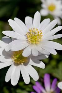 Bilde av Balkansymre 'White Splendour' - Anemone blanda - 10 stk