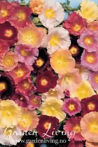 Bilde av Stokkrose 'Happy Lights Mixed' - Alcea ficifolia