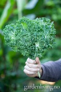 Bilde av Grønnkål 'Emerald Ice' - Brassica oleracea
