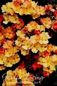 Bilde av Verbena, Hage- 'Peaches and Cream' - Verbena x hybrida