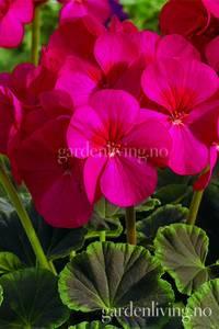 Bilde av Pelargonium 'Bulls Eye Cherry'