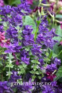 Bilde av Salvie, dusk- 'Blue Denim' - Salvia viridis