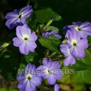 Bilde av Browallia americana 'Blue Lady'