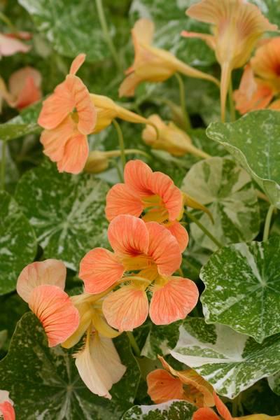Blomkarse 'Alaska Mixed', lav - Tropaeolum majus