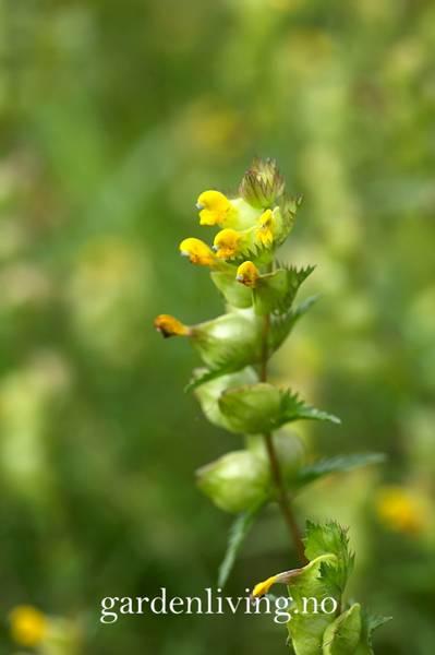 Småengkall - Rhinanthus minor