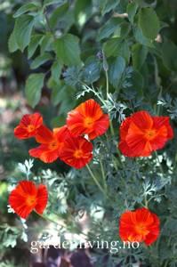Bilde av Kaliforniavalmue 'Red Chief' - Eschscholtzia californica