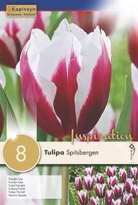 Bilde av Tulipan 'Spitsbergen', Triumphtulipan - 8 stk