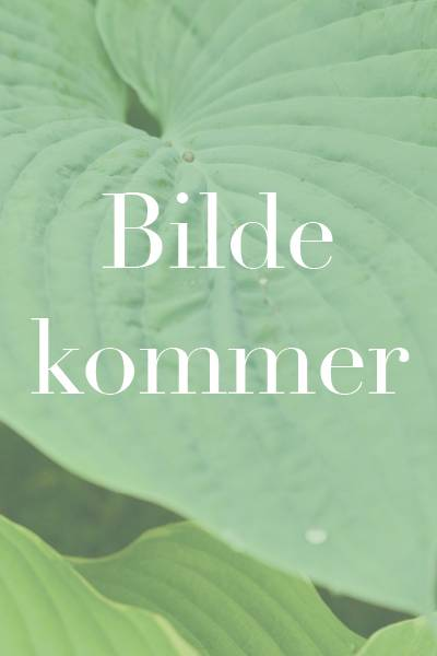 Aurikkel 'Alpine mixed' - Primula auricula