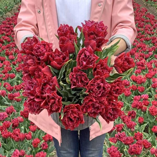 Tulipan 'Cranberry Tristle', Frynsetulipan - 10 stk