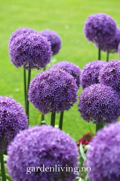 Prydløk 'Globemaster' - Allium - 1 stk