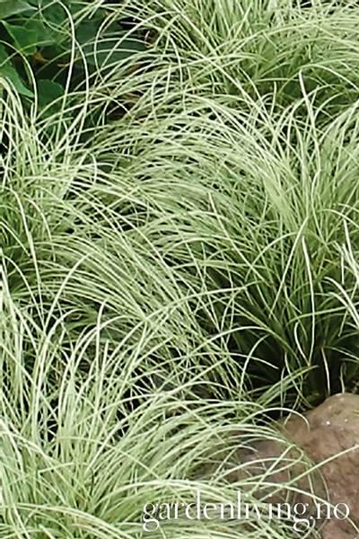 Starr 'Mint Curls' - Carex comans