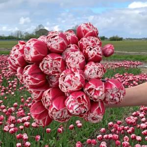 Bilde av Tulipan 'Drumline', Sen Dobbel - 10 stk