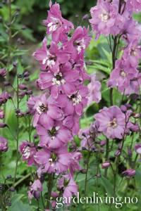 Bilde av Ridderspore 'Magic Fountains Lilac Pink/White Bee' -