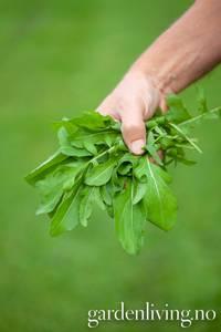 Bilde av Ruccola - Diplotaxis tenufolia, Organic