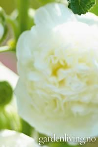 Bilde av Stokkrose 'Chater's Double White' - Alcea rosea