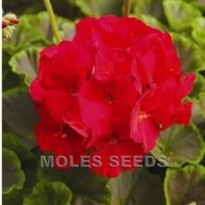 Bilde av Pelargonium 'Bulls Eye Red'