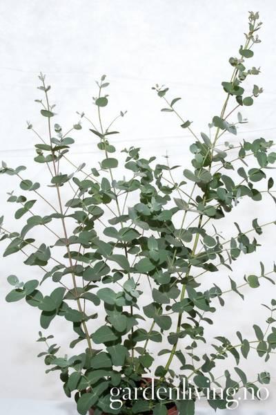 Eucalyptus gunni 'Silbertrofen'