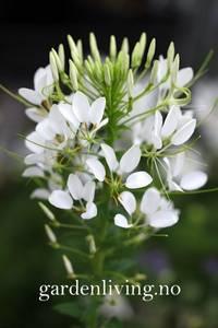 Bilde av Paradisspinner 'Helen Campbell' - Cleome hassleriana
