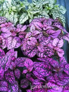 Bilde av Prikkeplante 'Confetti Mixed' - Hypoestes phyllostachya