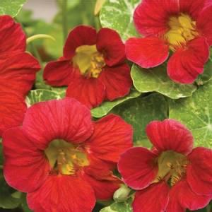 Bilde av Blomkarse 'Alaska Cherry Rose', lav - Tropaeolum majus