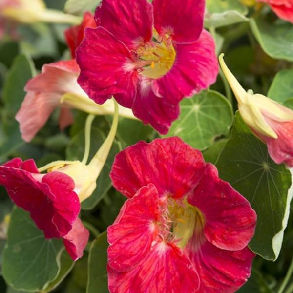 Blomkarse 'Tip Top Rose' - Tropaeolum majus