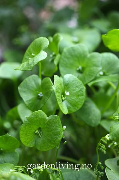 Vinterportulakk - Claytonia perfoliata