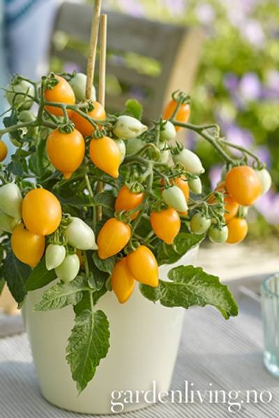 Tomat, Drivhus- busk 'Funnyplum Orange'