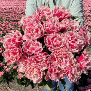 Bilde av Tulipan 'Queensland', Sen dobbel - 10 stk