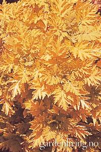 Bilde av Pyrethrum aureum 'Golden Moss'
