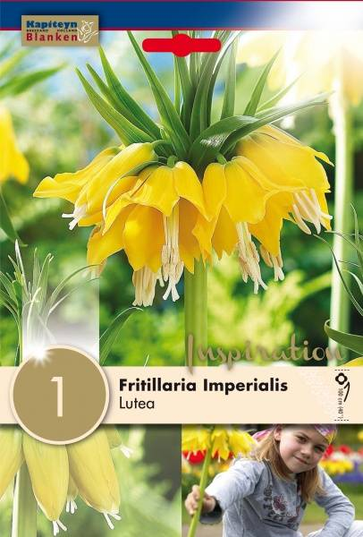 Keiserkrone 'Lutea' -Fritillaria imperialis - 1 stk