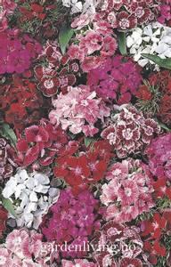 Bilde av Nellik, busk 'Summer Sundae' - Dianthus barbatus
